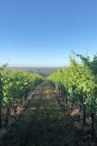 vineyard rows in summer
