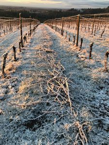 frost on vineyard vines