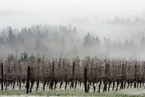 fog bank in vineyard
