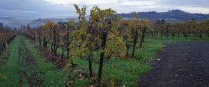 vineyard rows at dusk