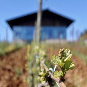 Bud break in Vineyard