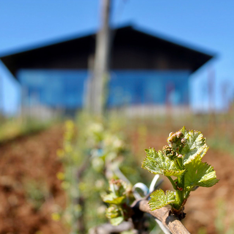 grape bud closeup